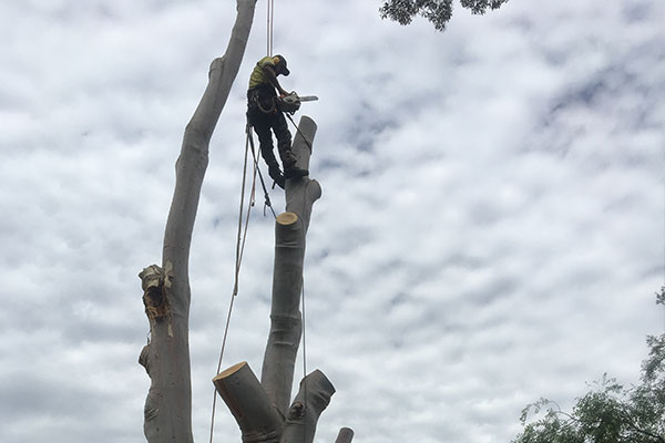 Tree Removalist Adelaide Breadleys tree and stump removal